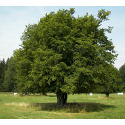 Horn Beam Tree