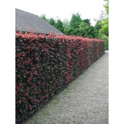 Berberis Hedge