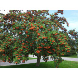 Sorbus Tree