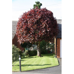 Acer Crimson King Tree