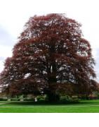 Copper Beech Tree