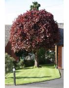 Acer Crimson King Tree
